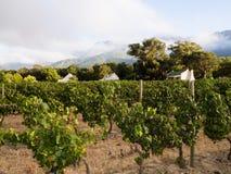 葡萄园在Winelands在西开普省,南非 库存图片