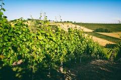 葡萄园小山在马尔什,意大利 免版税图库摄影