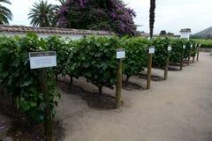 葡萄园智利酿酒厂圣丽塔 库存图片