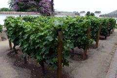 葡萄园智利酿酒厂圣丽塔 免版税图库摄影