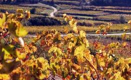 葡萄园横向在秋天 库存图片