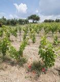 葡萄园用法语普罗旺斯地区和红色开花的鸦片 免版税库存照片