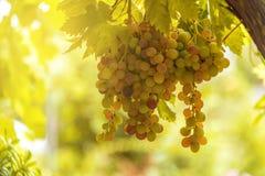 葡萄园看法用在日落的成熟葡萄 免版税库存图片