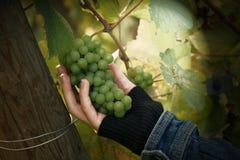 葡萄园葡萄提取 免版税图库摄影