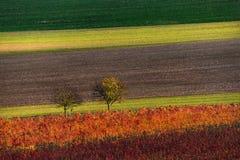 葡萄园葡萄树行  秋天五颜六色的德国横向莱茵河谷葡萄园 秋天葡萄园行和两树抽象背景  A 库存照片