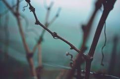 葡萄园藤植物在没有莓果的秋天 库存图片