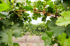 葡萄园行看法没有葡萄的 葡萄在Th的收获季节 免版税图库摄影