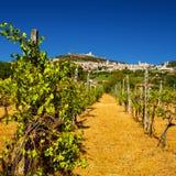 葡萄园轰鸣声Rocca Maggiore在翁布里亚,在热的Su期间的Assisi 图库摄影
