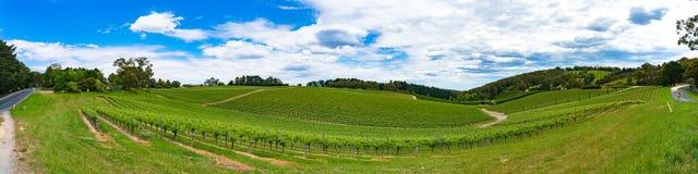 葡萄园长的全景有绿色葡萄树的在小山 库存图片