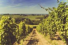 葡萄园领域在有太阳的意大利 免版税库存图片