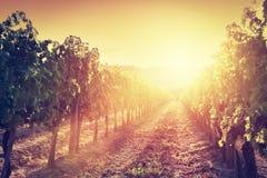 葡萄园风景在托斯卡纳,意大利 日落的酒农场 免版税库存照片