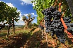 葡萄园风景在秋天,托斯卡纳, 免版税库存照片