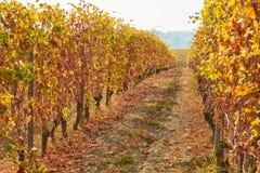 葡萄园,两藤行之间的道路在与黄色叶子的秋天 免版税库存照片