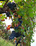 葡萄园,葡萄收获 免版税库存照片