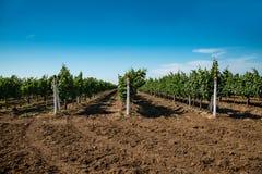 葡萄园,葡萄耕种,藤 免版税库存照片