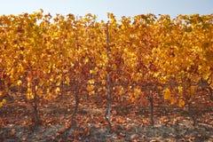 葡萄园,藤行在秋天与黄色叶子 图库摄影