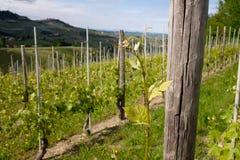 葡萄园 在巴罗洛,Langhe,山麓,意大利,联合国科教文组织遗产附近的葡萄栽培 Dolcetto,Nebbiolo Barbaresco红酒 免版税库存照片