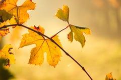 葡萄园黄色叶子在秋天期间的 库存照片