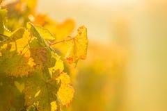 葡萄园黄色叶子在秋天期间的 免版税库存图片