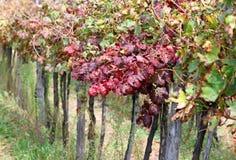 葡萄园细节在有叶子的乡下在秋天 图库摄影