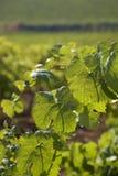 葡萄园细节在西西里岛 免版税库存图片