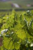 葡萄园细节在西西里岛 库存照片