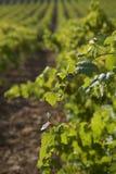 葡萄园细节在西西里岛 免版税库存照片
