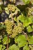 葡萄园-葡萄和叶子 免版税库存照片
