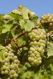 葡萄园-葡萄和藤叶子 免版税库存图片