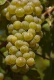 葡萄园-葡萄 库存图片