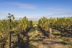 葡萄园Willamette谷俄勒冈的领域 库存照片
