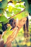 葡萄在一个女性葡萄酒商人被检查的葡萄园里 库存图片