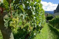 葡萄在一个晴朗的葡萄园里 免版税库存图片