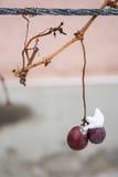 葡萄在冬天 库存照片