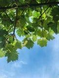 葡萄在分支成熟在夏天 免版税库存图片