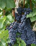 葡萄在圣Emelion,法国附近的葡萄园里 免版税图库摄影