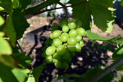 葡萄在庭院里 图库摄影