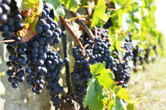 葡萄在拉沃葡萄园梯田,瑞士 免版税图库摄影