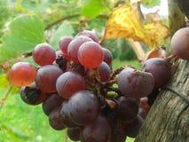 葡萄在最后夏天的 免版税库存照片