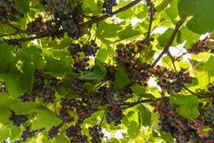 葡萄在葡萄园背景中 免版税库存照片