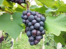 葡萄在葡萄园里晚夏 免版税图库摄影