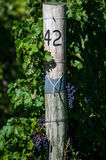 葡萄在葡萄园里 免版税图库摄影