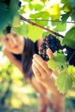 葡萄在被检查的葡萄园里 图库摄影