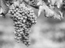 葡萄在Vinevard 库存照片