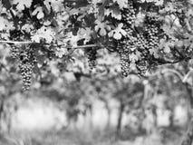 葡萄在Vinevard 免版税库存照片