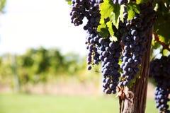 葡萄墨尔乐红葡萄酒葡萄园 库存图片