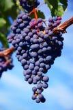 葡萄墨尔乐红葡萄酒葡萄园 免版税图库摄影