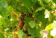 葡萄墨尔乐红葡萄酒藤 免版税库存照片