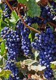 葡萄墨尔乐红葡萄酒 免版税库存图片