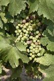 葡萄墨尔乐红葡萄酒 免版税库存照片